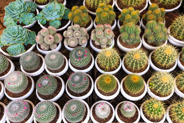 Photo by Quang Nguyen Vinh via Pexels cactus-flora-potted-plants-2138073.jpg